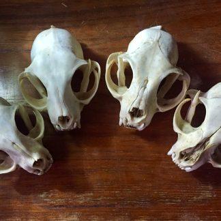 Ægte kranier